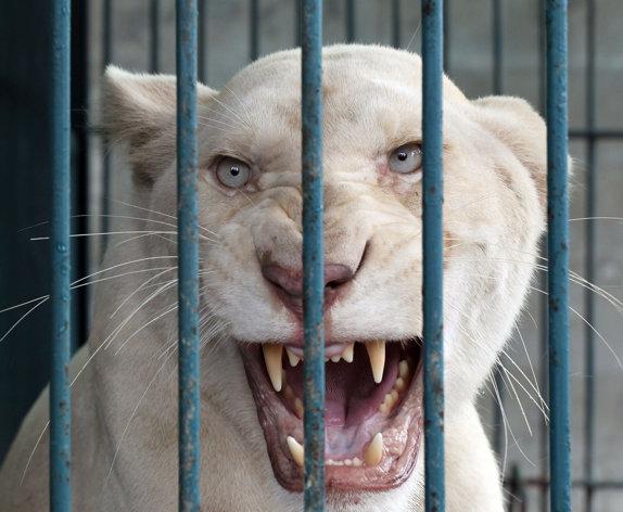 rare lion Species